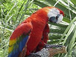 Обои на экрана компьютера  С изображением: Красивый попугай!